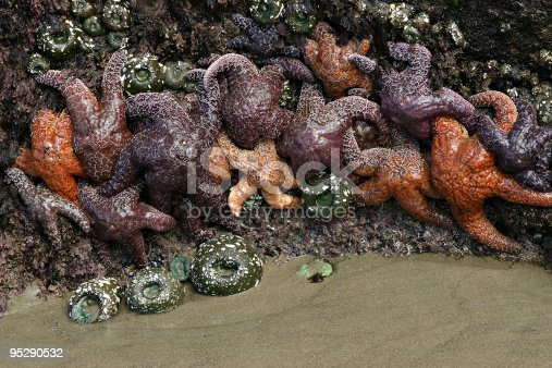Sea Stars (Starfish) and Sea Anemones on a rocky outcropping on the beach, waiting for the tide to come in.