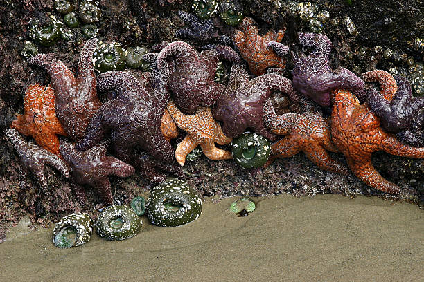 Sea Stars (Starfish) and Sea Anemones, Strawberry Hill Beach, Oregon. stock photo