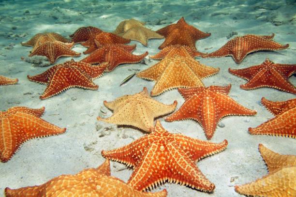 sea stars on sandy ocean floor - immerse in the stars foto e immagini stock