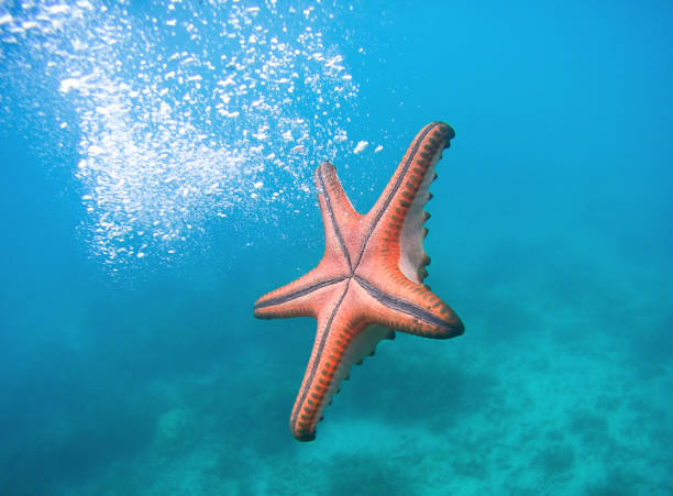 Sea stars Sea stars underwater landscape starfish stock pictures, royalty-free photos & images
