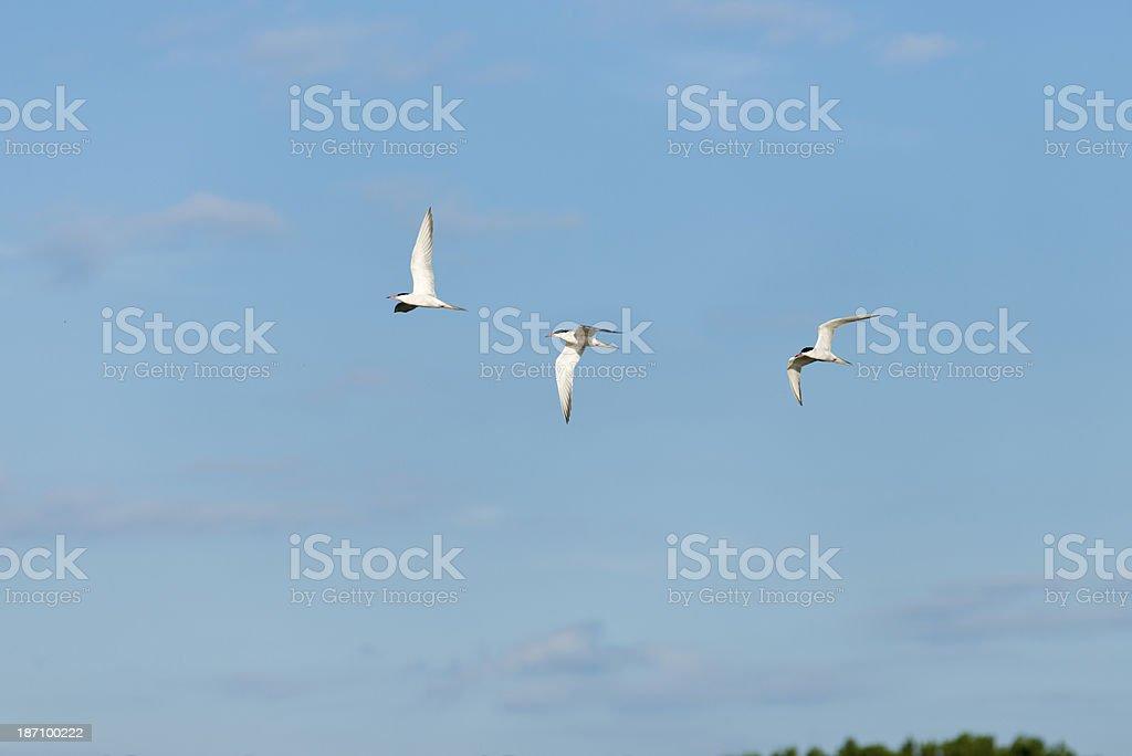 sea swallow [tern] stock photo
