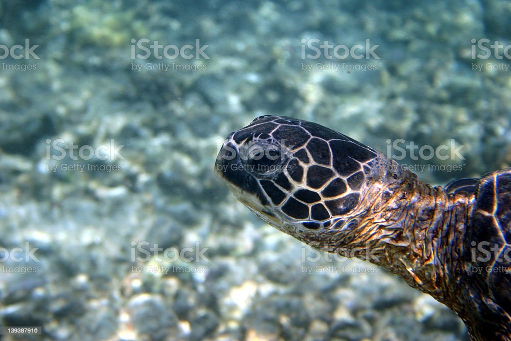 Sea Turtle 1 royalty-free stock photo
