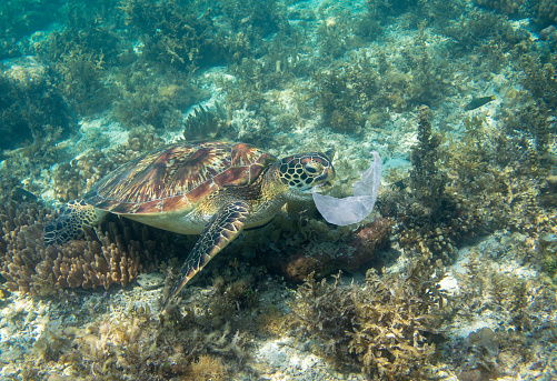 Sea turtle and plastic bag. Ecology problem photo. Marine green turtle eat plastic underwater photo. Plastic garbage pollution. Ocean animal suffering from human impact. Plastic waste undersea