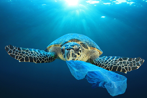 Plastic bags, bottles, cups and straws pollute the ocean. Turtles can mistake these for jellyfish and accidentally eat them. This is an environmental pollution problem.