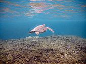 沖縄県宮古島でウミガメ