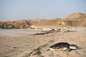 A dead sea turtle, cause of death unknown, lies on the beach at Ras Al Jinz Turtle Reserve in Oman. The beach is the easternmost point of the Arabian Peninsula and a popular sea turtle nesting ground