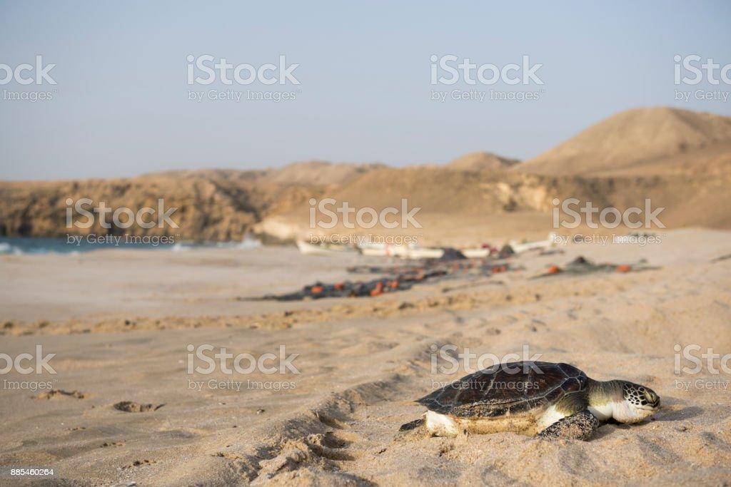 Meeresschildkröte im Ras Al Jinz Turtle Reserve in Oman – Foto