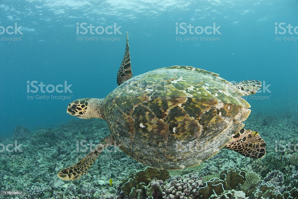 sea turtle carapace royalty-free stock photo