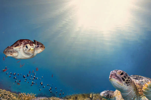 sea turtle close up over coral reef in Caribbean stock photo