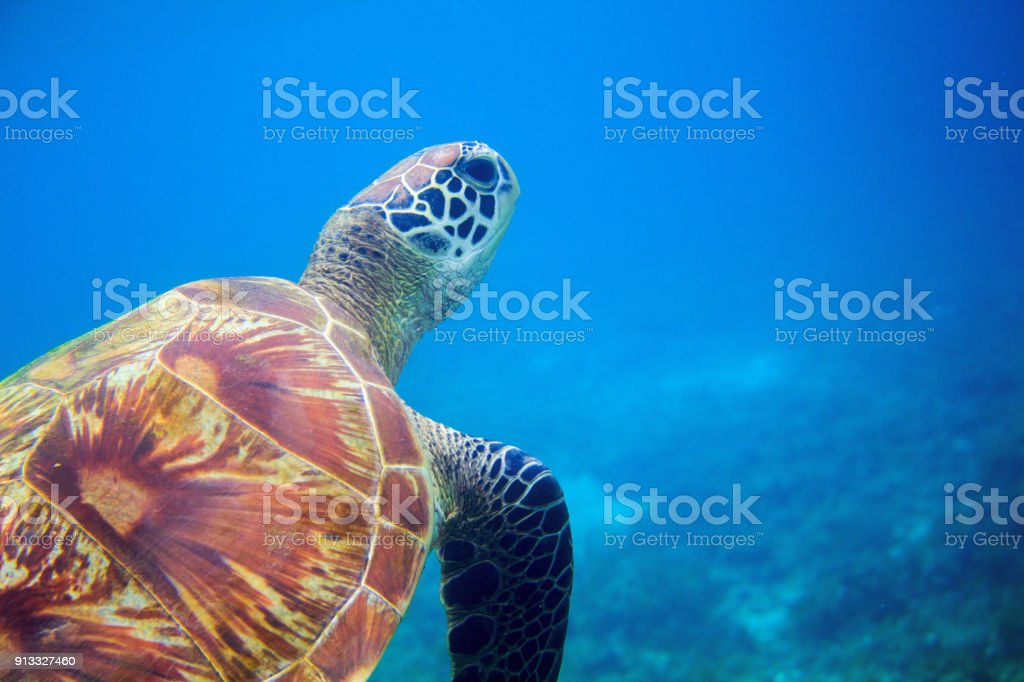 Sea turtle closeup in blue water. Coral reef animal underwater photo....
