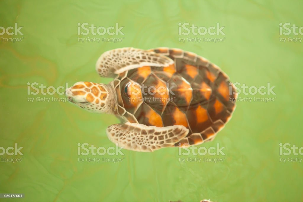 Sea turtle Conservation of marine species stock photo