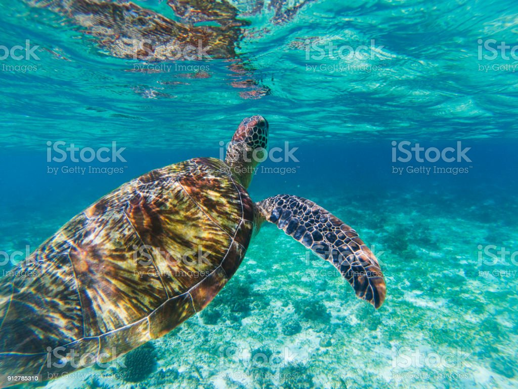 Sea turtle in seashore of tropical island. Tortoise underwater photo....