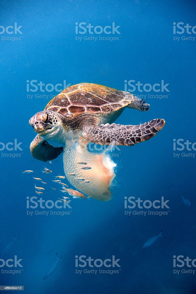 Sea turtle eating jelly fish stock photo