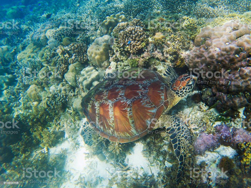 Sea turtle in seashore of tropical island. Tortoise underwater photo....
