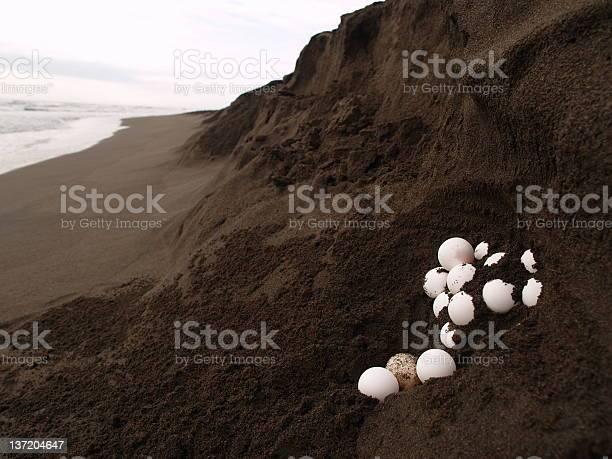Sea turtle eggs picture id137204647?b=1&k=6&m=137204647&s=612x612&h=q8jd2kuoqnohyx1zxsujnhpio78x0lgcdcjocwch74k=