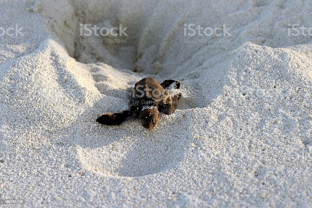 Sea Turtle escaping Nest stock photo