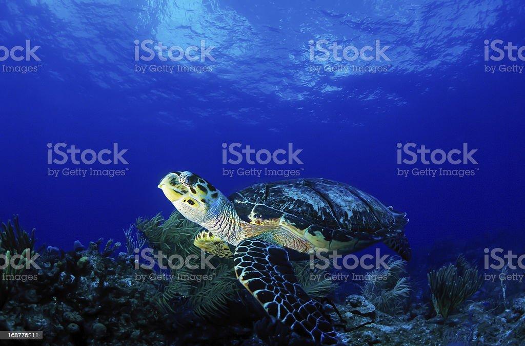 Sea turtle free in the ocean stock photo