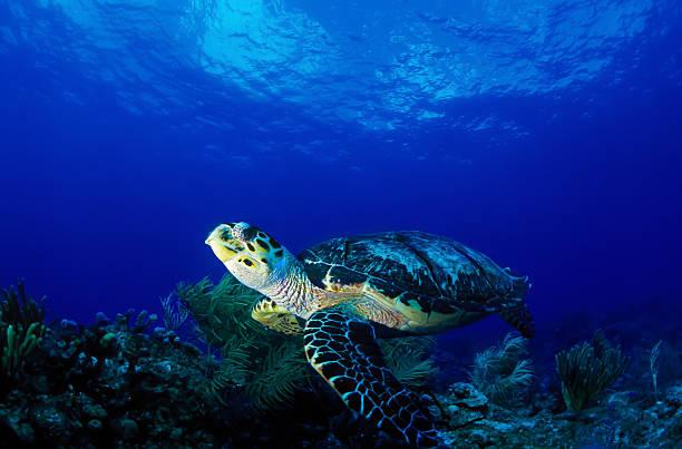 sea turtle free in the ocean - leatherback stockfoto's en -beelden