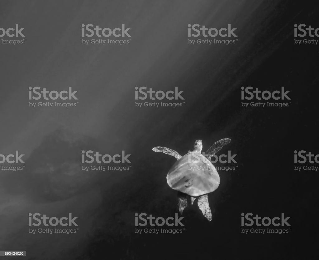 Sea Turtle Glides Through Rays of Light In Black and White stock photo