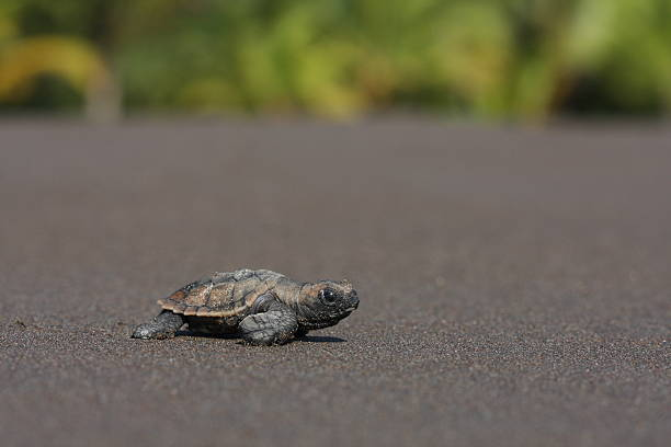 sea turtle hatchling (eretmochelys imbricata) - leatherback stockfoto's en -beelden