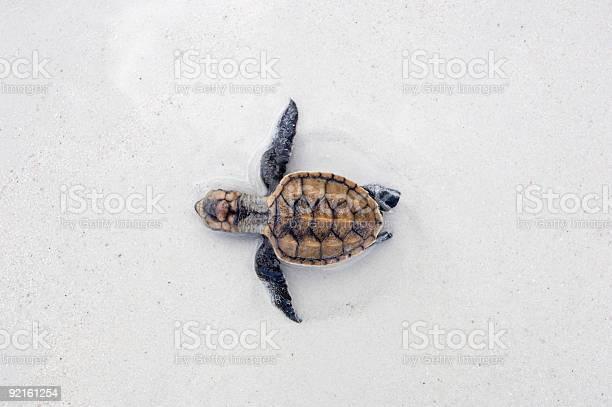 Sea turtle hatchling picture id92161254?b=1&k=6&m=92161254&s=612x612&h=yhqmmxxifdbzyc9tclxs5vbgdl48rmyctyvz 7uy24u=