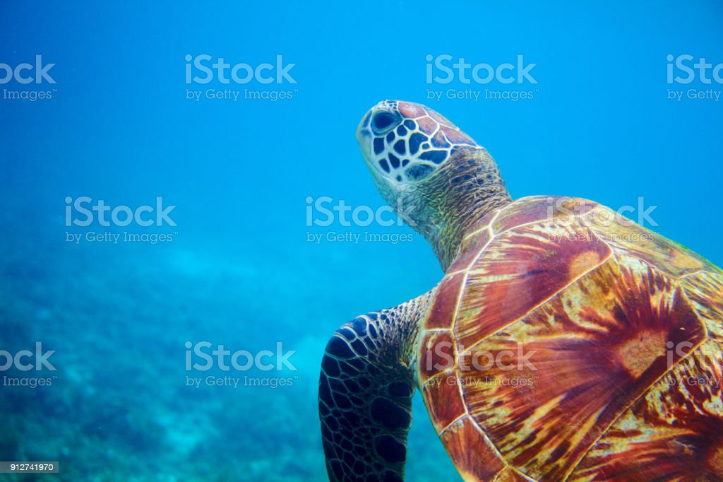 Sea turtle head in blue water. Coral reef animal underwater photo....