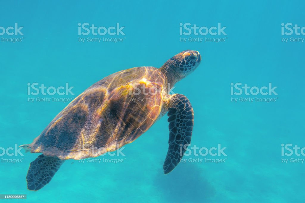 Sea turtle in blue sea closeup. Coral reef animal underwater photo....