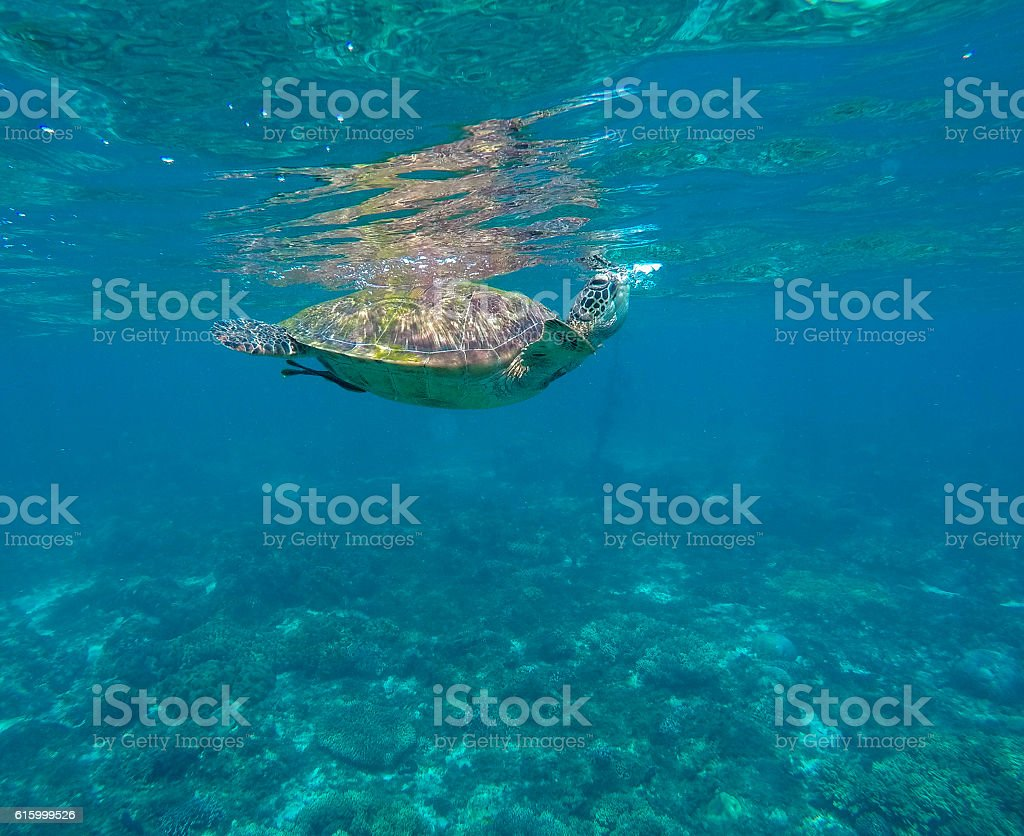 Sea turtle in blue water over coral reef stock photo