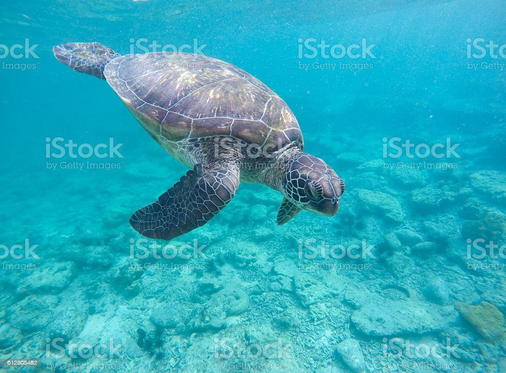 Sea turtle in blue water stock photo
