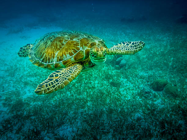 Sea turtle in caribbean sea - Caye Caulker, Belize stock photo
