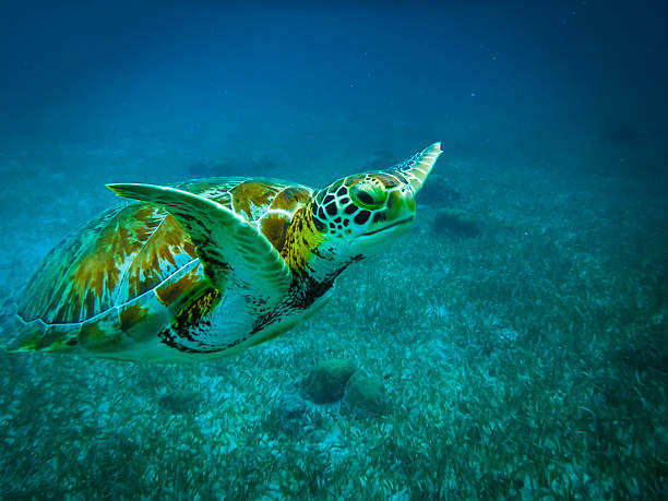 sea turtle in caribbean sea - caye caulker, belize - tartaruga comune foto e immagini stock