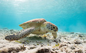 A Sea Turtle swimming in super clear blue waters.