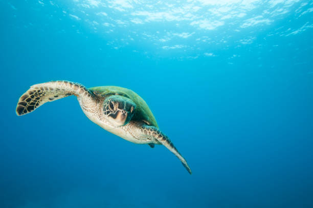 sea turtle in flight swimming in clear blue water - tartaruga marina foto e immagini stock