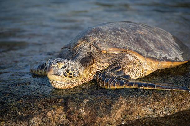 sea turtle in hawaii - leatherback stockfoto's en -beelden