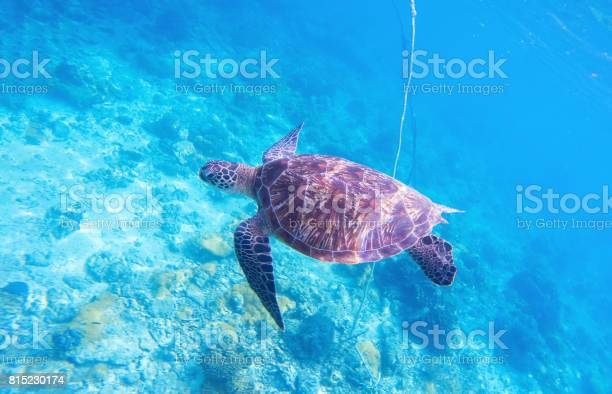 Sea turtle in ocean water olive green turtle in natural environment picture id815230174?b=1&k=6&m=815230174&s=612x612&h=cbya3fzk1r5ab04s2nvxuqjpojy3ma3ofuq7zs3wc8g=