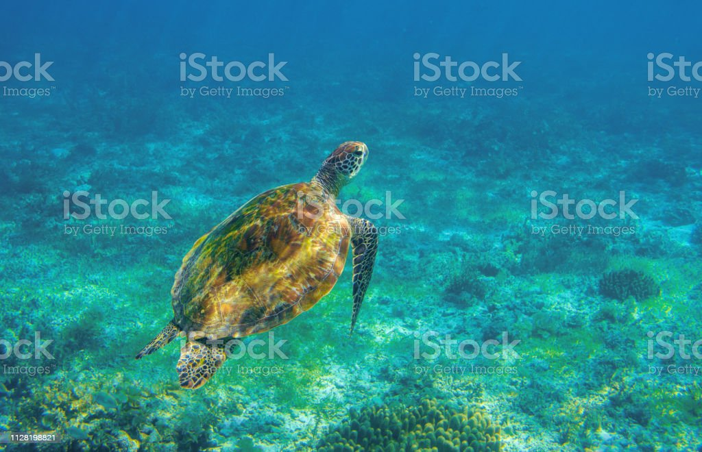 Sea turtle in ocean waters. Coral reef animal underwater photo....