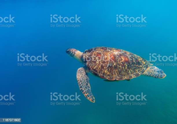 Sea turtle in open water of tropical sea cute marine tortoise in picture id1187071602?b=1&k=6&m=1187071602&s=612x612&h=rcd6itwdpxmbgd80b6armphtykwgyt3xifeqm0azlfk=