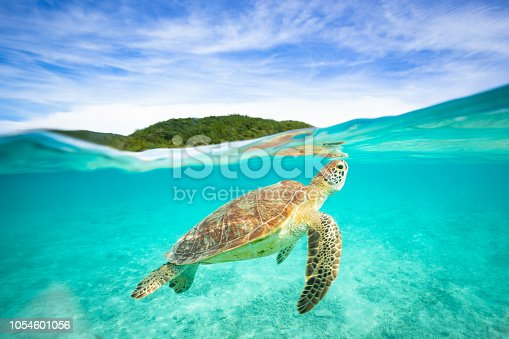 A small Sea Turtle swimming around in clear blue ocean waters just off an island in Okinawa, Japan