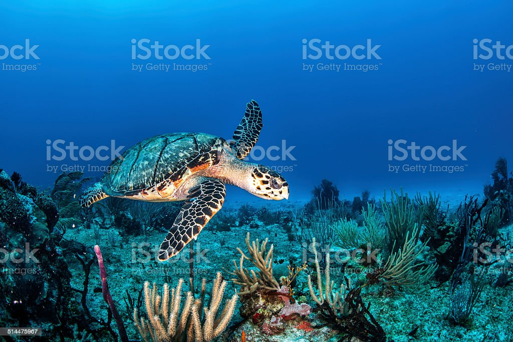 Sea turtle in the sea stock photo