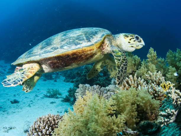 Sea turtle in the sea under water swims. Marine reptile. Sea turtle in the sea under water swims. Marine reptile. Underwater shooting. Coral reef and its inhabitants sulawesi stock pictures, royalty-free photos & images