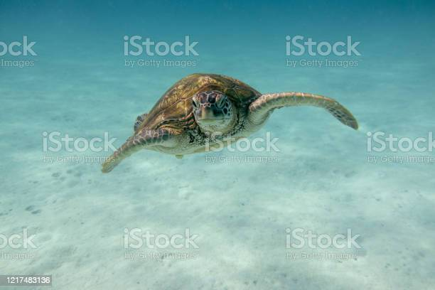 Sea turtle in the tropical seas picture id1217483136?b=1&k=6&m=1217483136&s=612x612&h=xjrbpunvoxhu0fe6vsmp2ykct vlivj8uos2tpc9g a=