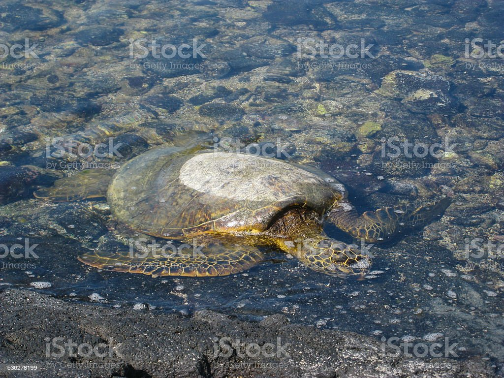 Sea turtle in the water on  volcanic rocky  beach stock photo
