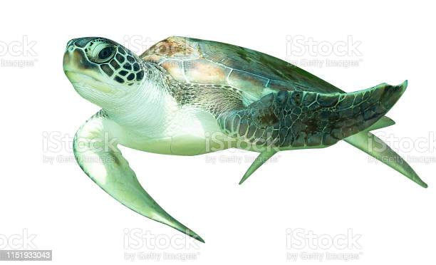 Sea turtle isolated on white background picture id1151933043?b=1&k=6&m=1151933043&s=612x612&h=ftroegzufq4a8wnblgmhsqk9q2cqn8i3qpexp9mzr98=