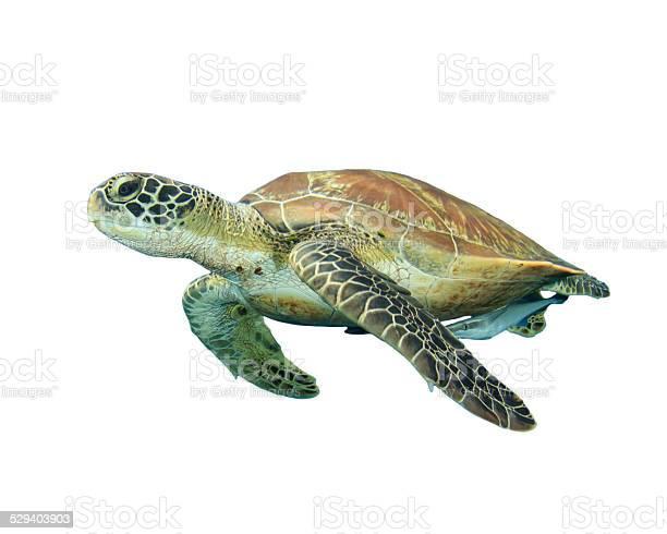 Sea turtle isolated picture id529403903?b=1&k=6&m=529403903&s=612x612&h=rtbimhvizur234fo xnwfhtg13uq8wu3uky3ep v5jo=