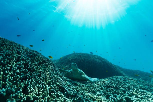 A Sea Turtle Lays on a Bed of Coral stock photo