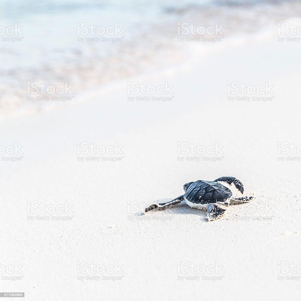 Sea turtle newborn is reaching the sea. Freedom concept. stock photo