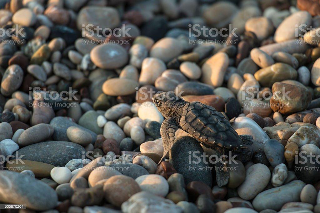 Sea Turtle Newborn on a Beautiful Beach stock photo
