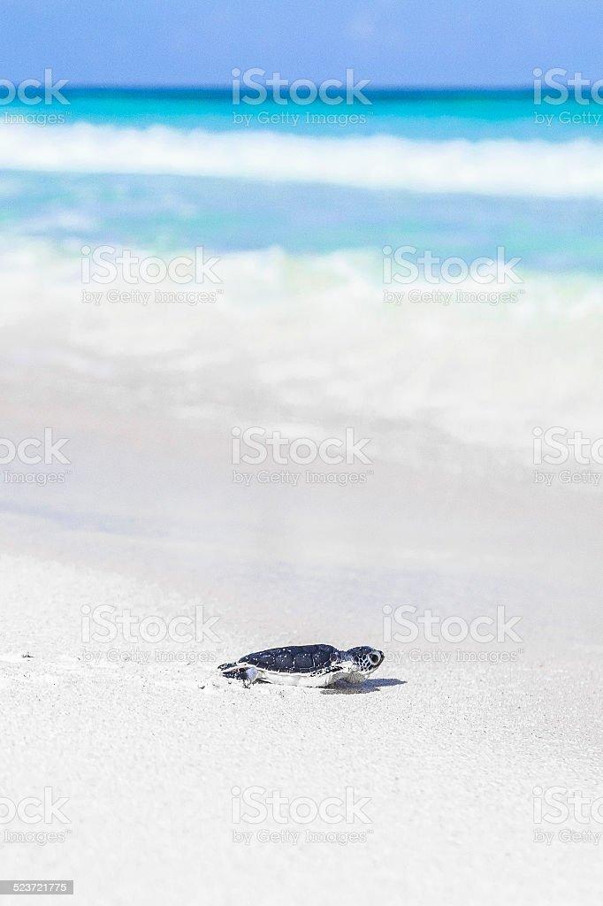 Sea Turtle Newborn on a Beautiful Beach Reaching the Sea. stock photo