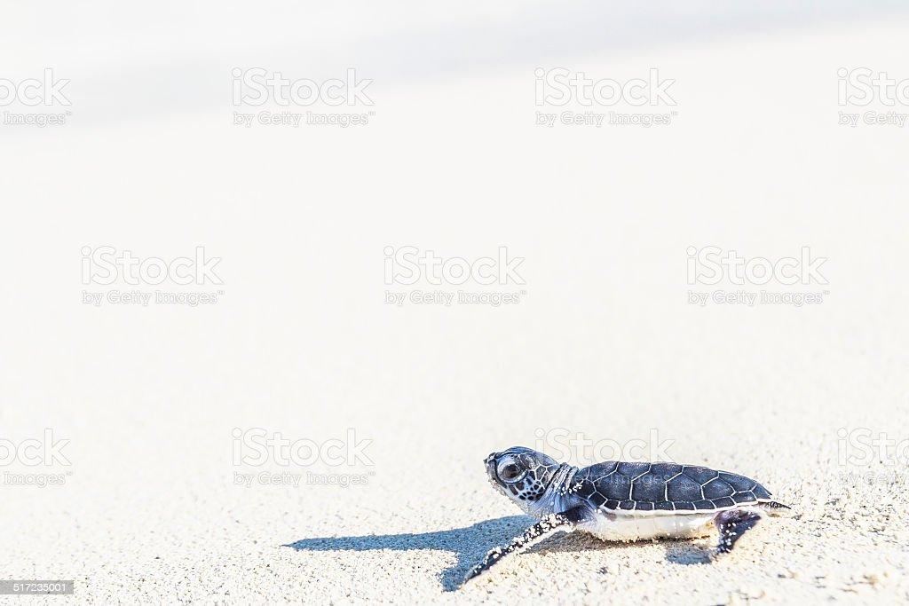 Sea turtle newborn reaching the sea. Freedom concept. stock photo