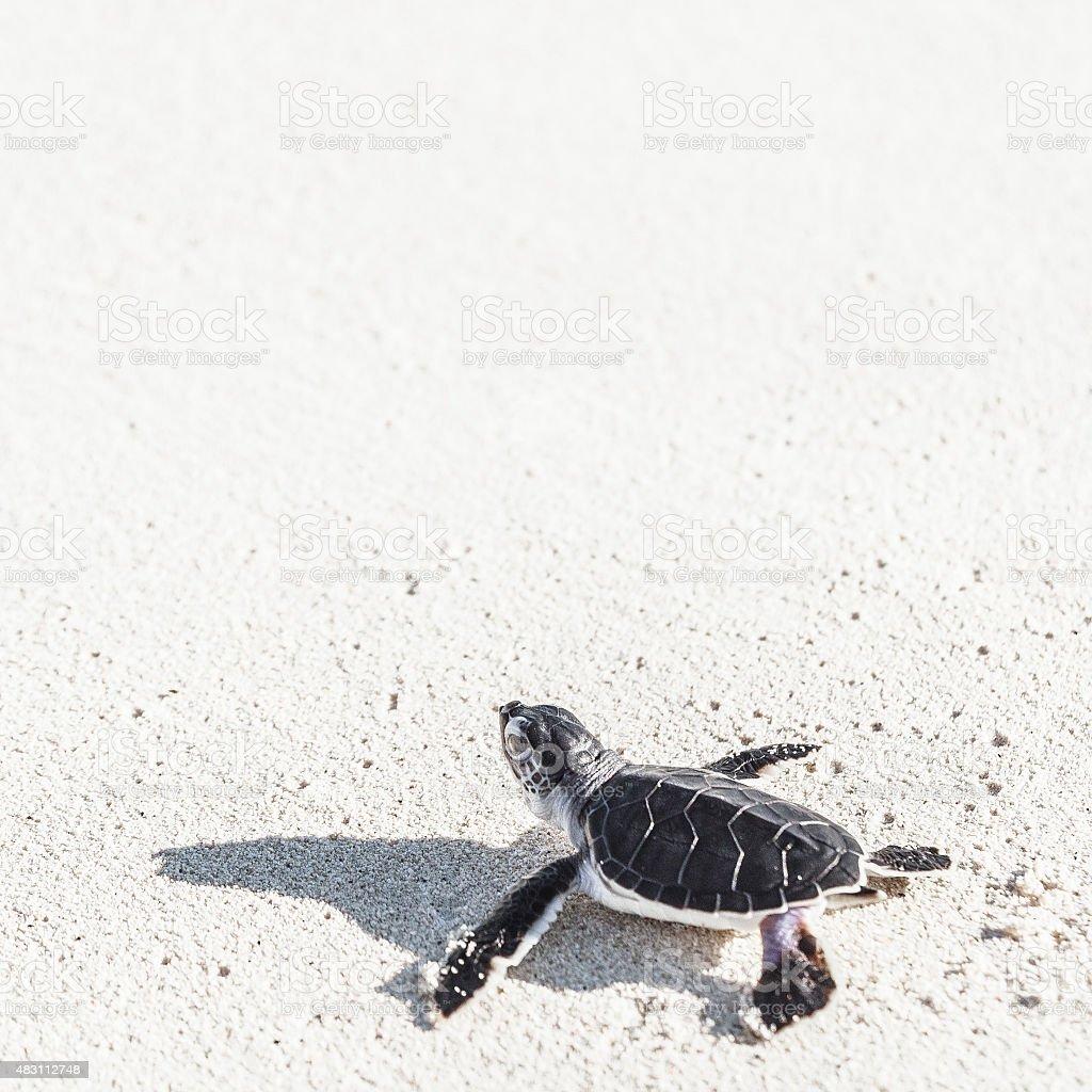 Sea turtle newborn reaching the sea on the white sand. stock photo